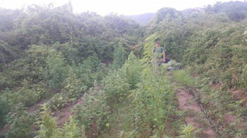 Piantagione di cannabis scoperta dai carabinieri in via Casa Porta a Salerno: sequestrate 157 piante
