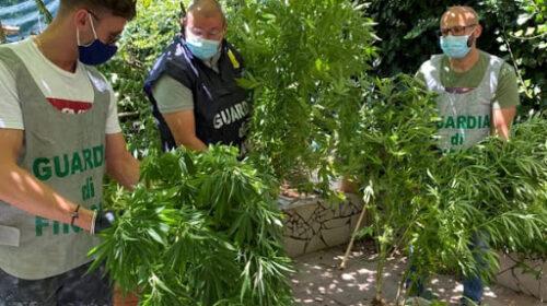 Coltivava droga e chiedeva il reddito di cittadinanza: pusher arrestato a San Mango. Sequestrate 30 piante di cannabis