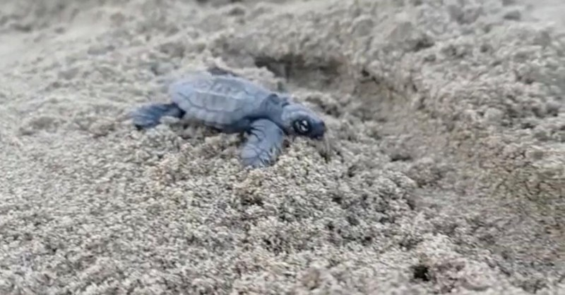 Tartaruga caretta/caretta: 58 nascite a San Mauro Cilento