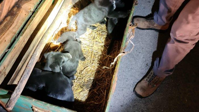 Sette cuccioli di cane rinvenuti in un baule a Colliano