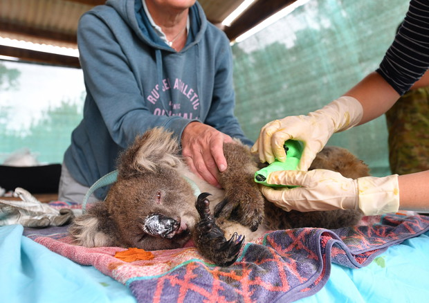 Incendi Australia, dopo l'inferno restano solo 35.000 Koala