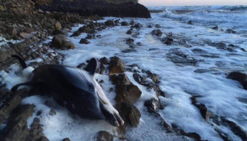 Delfino morto ritrovato nel Cilento: spiaggiato nei pressi di Punta Licosa