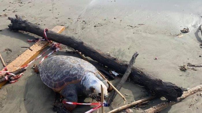 Tartaruga morta rinvenuta sulla spiaggia di Santa Teresa a Salerno