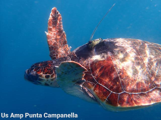 Tartarughe liberate nel mare di punta Campanella