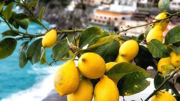 Costituito il distretto per il limone Igp costa d'Amalfi