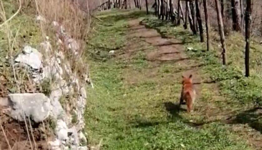 Volpe colpita alla testa, salvata dai carabinieri a Sarno e liberata