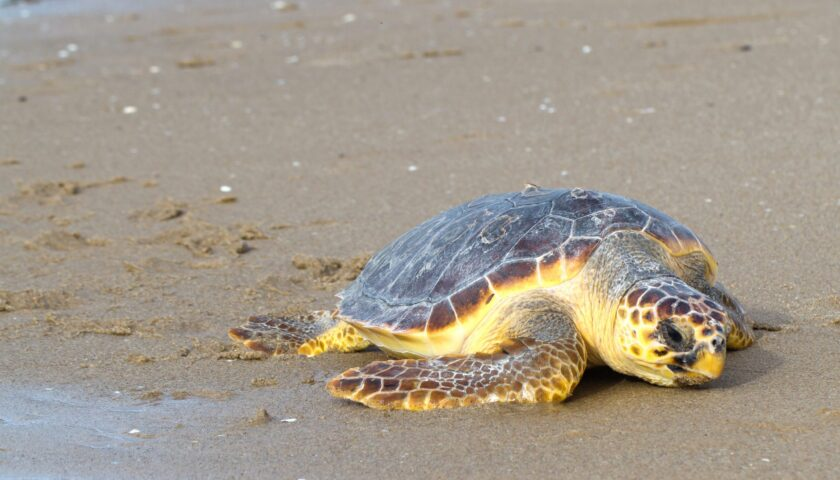 Tartaruga caretta caretta trovata morta a Vietri sul Mare