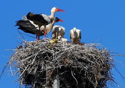 La cicogna bianca ritorna a Salerno e nel Vallo di Diano