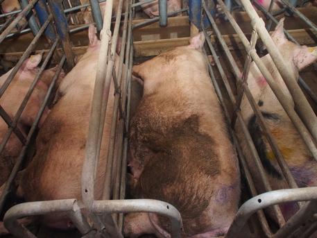 Greenpeace, il 32% del programma cibo Ue è per carne e latticini