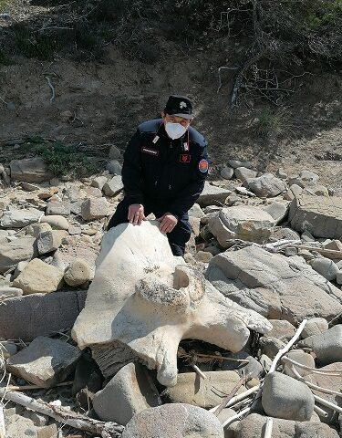 Resti del cetaceo di Montecorice trasferiti nel Museo del Mare