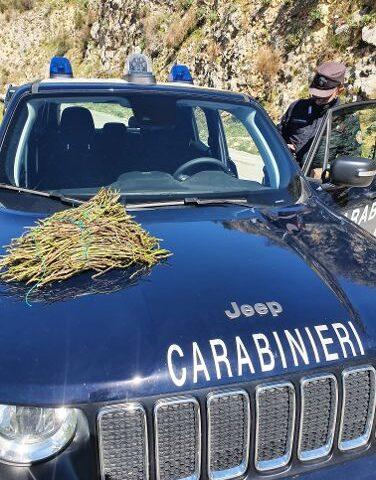 Campagna di controlli per la prevenzione degli incendi boschivi: Carabinieri Forestali sequestrano 87 kg di asparago selvatico