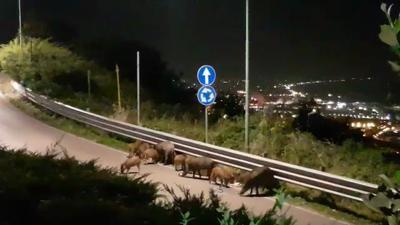 Salerno, bovini vaganti in casa Manzo: residenti preoccupati
