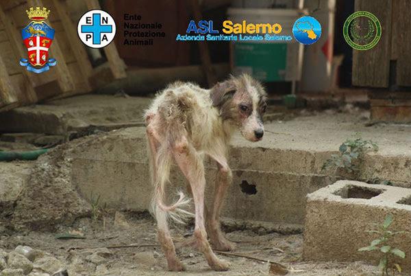 Animali malnutriti e maltrattati in azienda lager a Eboli: sequestro e denuncia