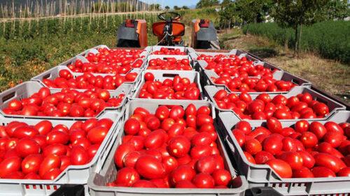 Pomodori, Coldiretti: manca chi consegna la merce