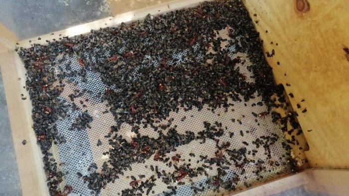 Salerno, invasione di vespe orientalis: distrutta arnia al Giardino della Minerva